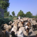 A_rabari_with_his_cattles