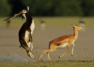 blackbuck-frolicking