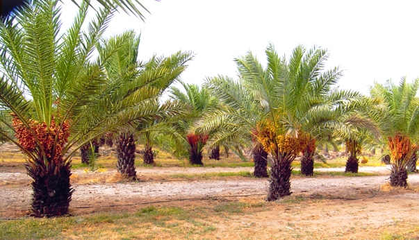 Date Palm farming in Rajasthan
