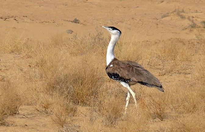 Great Indian Bustard, Rajasthan Environment   Environment of Rajasthan