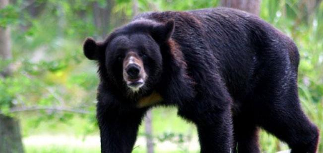 Sloth Bear: Mount Abu & Jessore Wildlife Sanctuaries