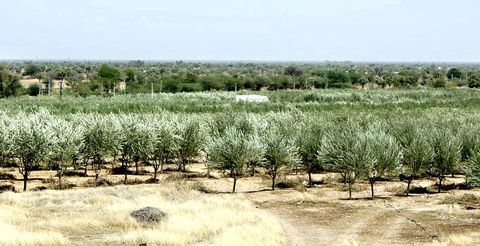 olive-rajasthan