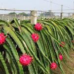 dragon-fruit-farming