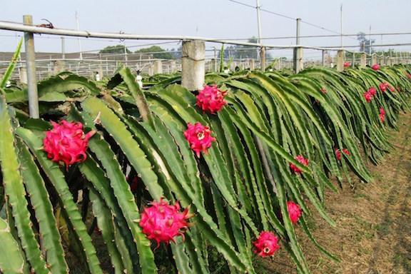 Dragon Fruit farming in Rajasthan