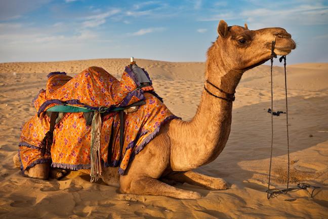 Camels of Rajasthan   Camel Population Declining   Breeds of Camel