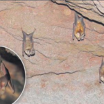 leaf-nosed bat of thar