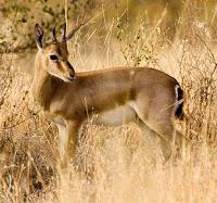 Chinkara State Animal of Rajasthan