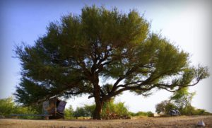 Khejri - State Tree of Rajasthan