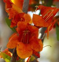 Rohida State Flower of Rajasthan
