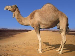 camel State Animal of Rajasthan