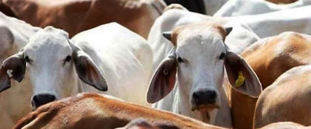 Use of Cow cess for epidemics