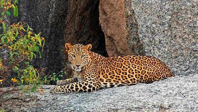 Jawai Bandh Conservation Reserve in Rajasthan | Leopards of jawai