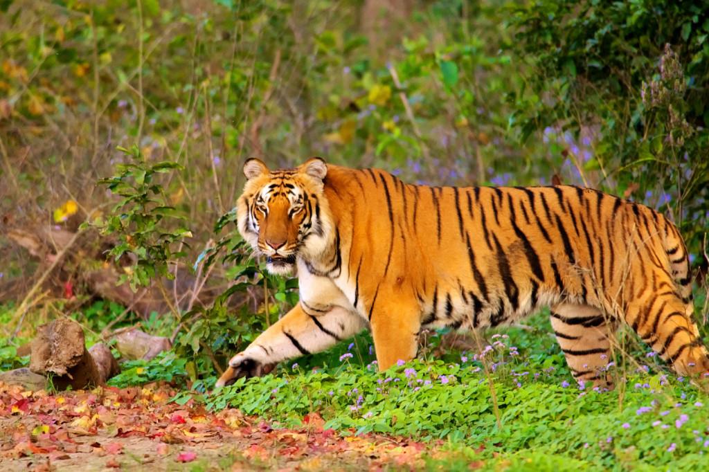 Kumbhalgarh TR: Survey for Tiger Reserve Status in September 2021