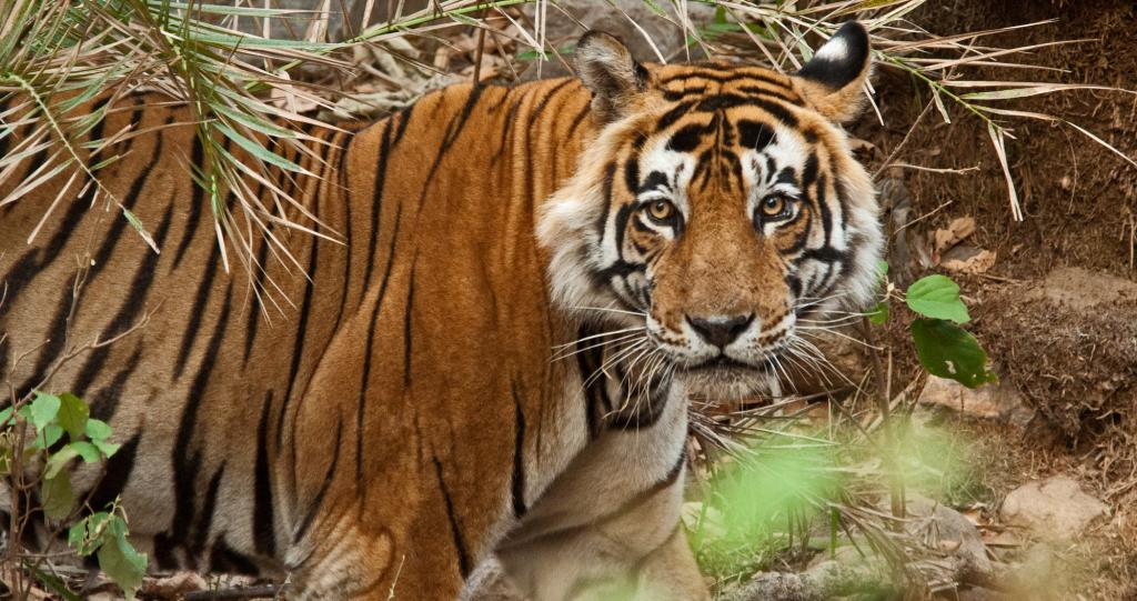 Sariska National park tiger reserve   India Environment