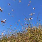 Locust Attack in Rajasthan in 2019 2020