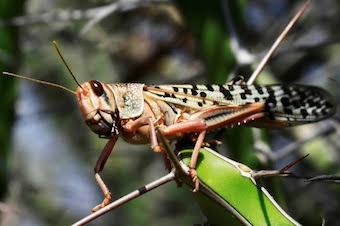 What are Locusts ? What is Locust ?