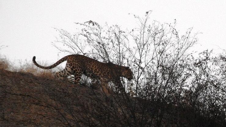 jawai leopard Safari camp