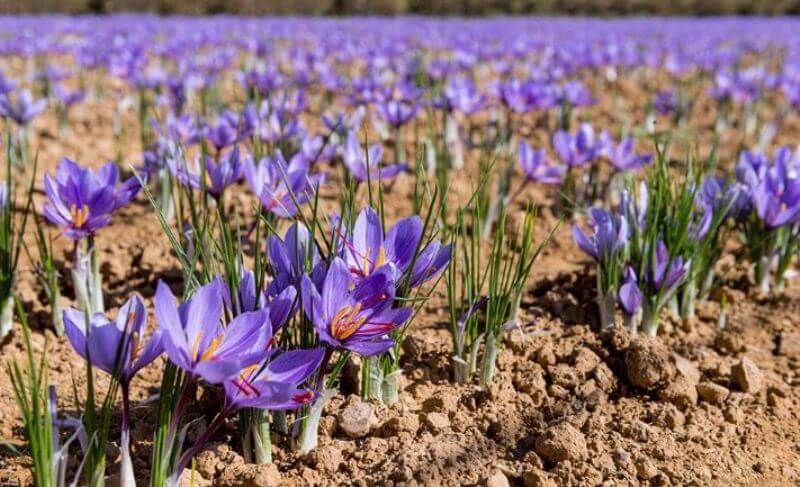 Improving Cultivation of Heeng and Saffron in India