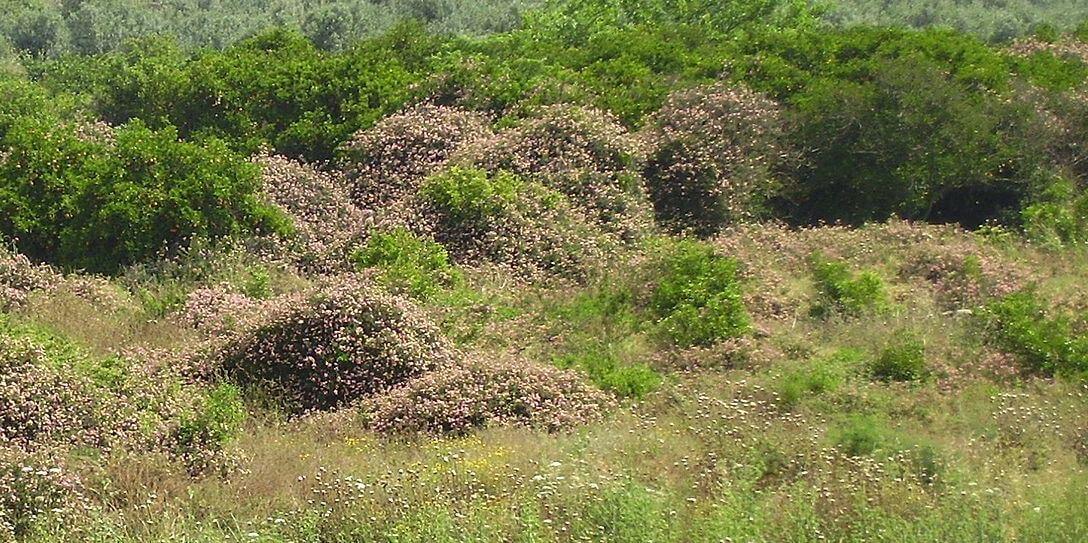 Lantana shrub poses threat to Sajjangarh sanctuary