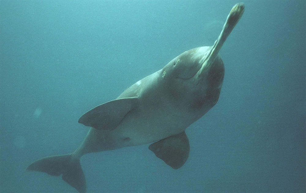 Project Dolphin in India