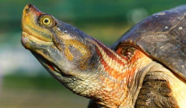 Turtle Conservation in Rajasthan | Rajasthan Forest Department Plans Turtle Conservation