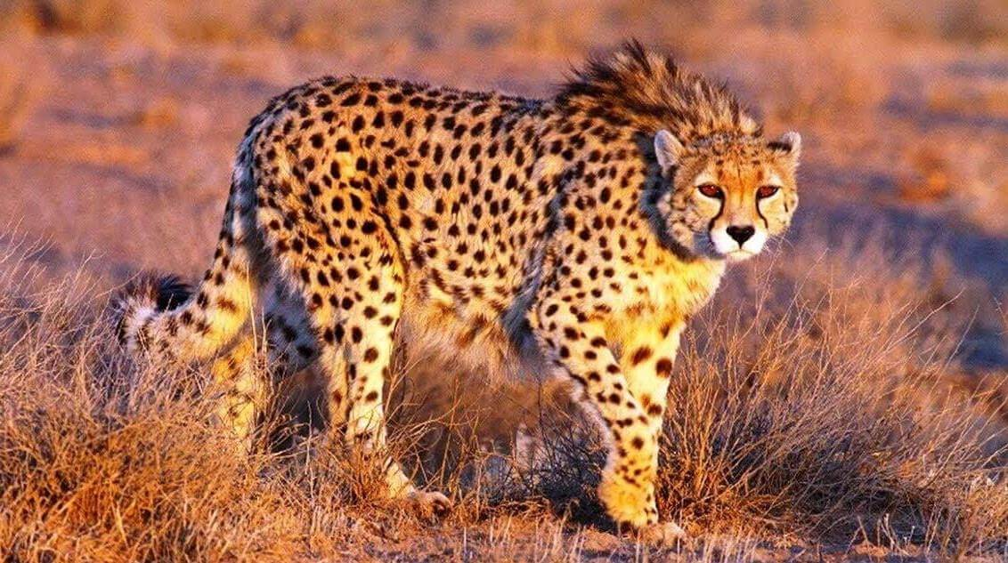 Asiatic Cheetah introduction in Rajasthan