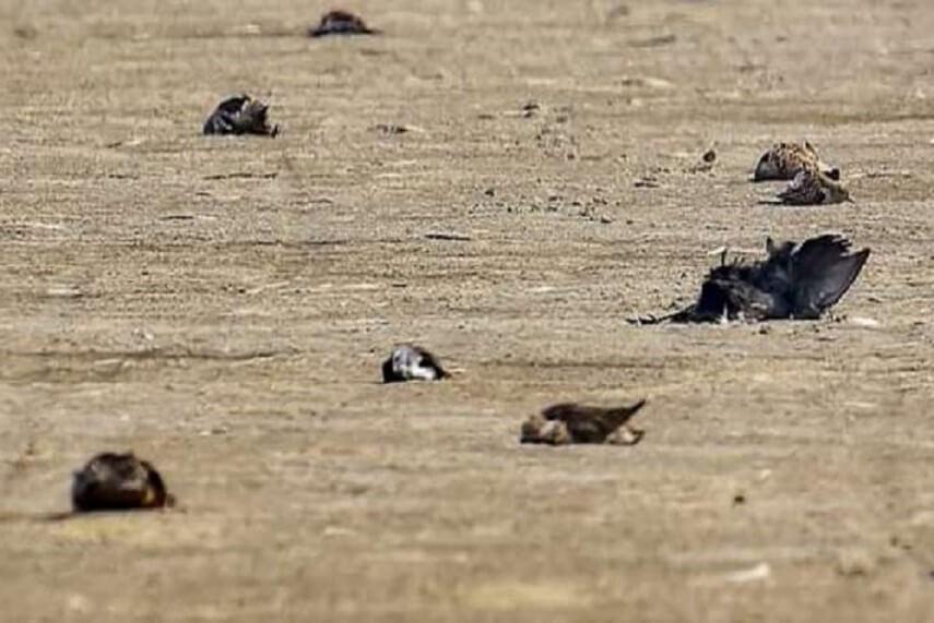 Crows Dead Bird Flu in Rajasthan