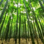 Project BOLD: Bamboo Oasis on Lands in Drought